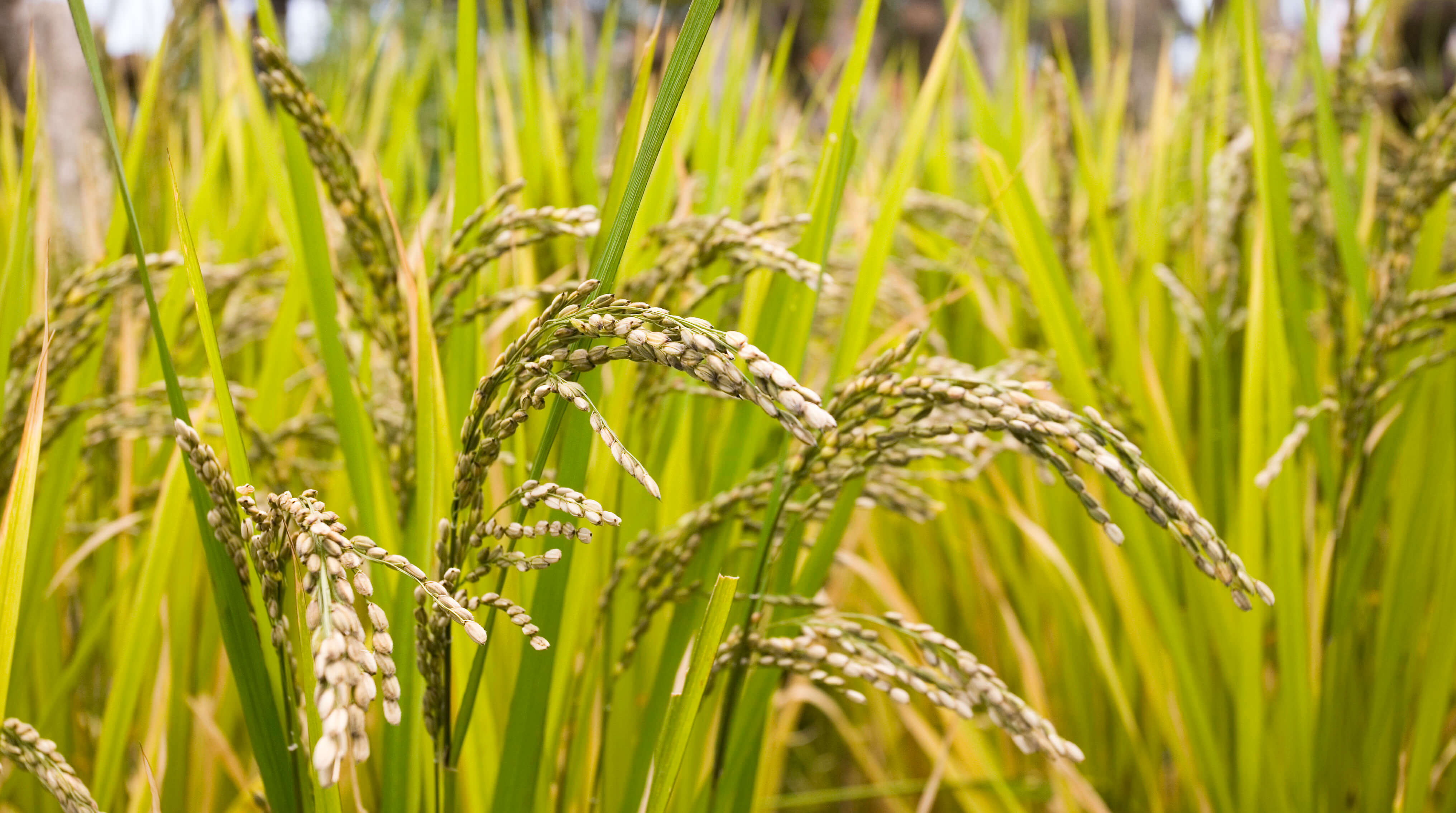 narrowing-the-rice-yield-gap