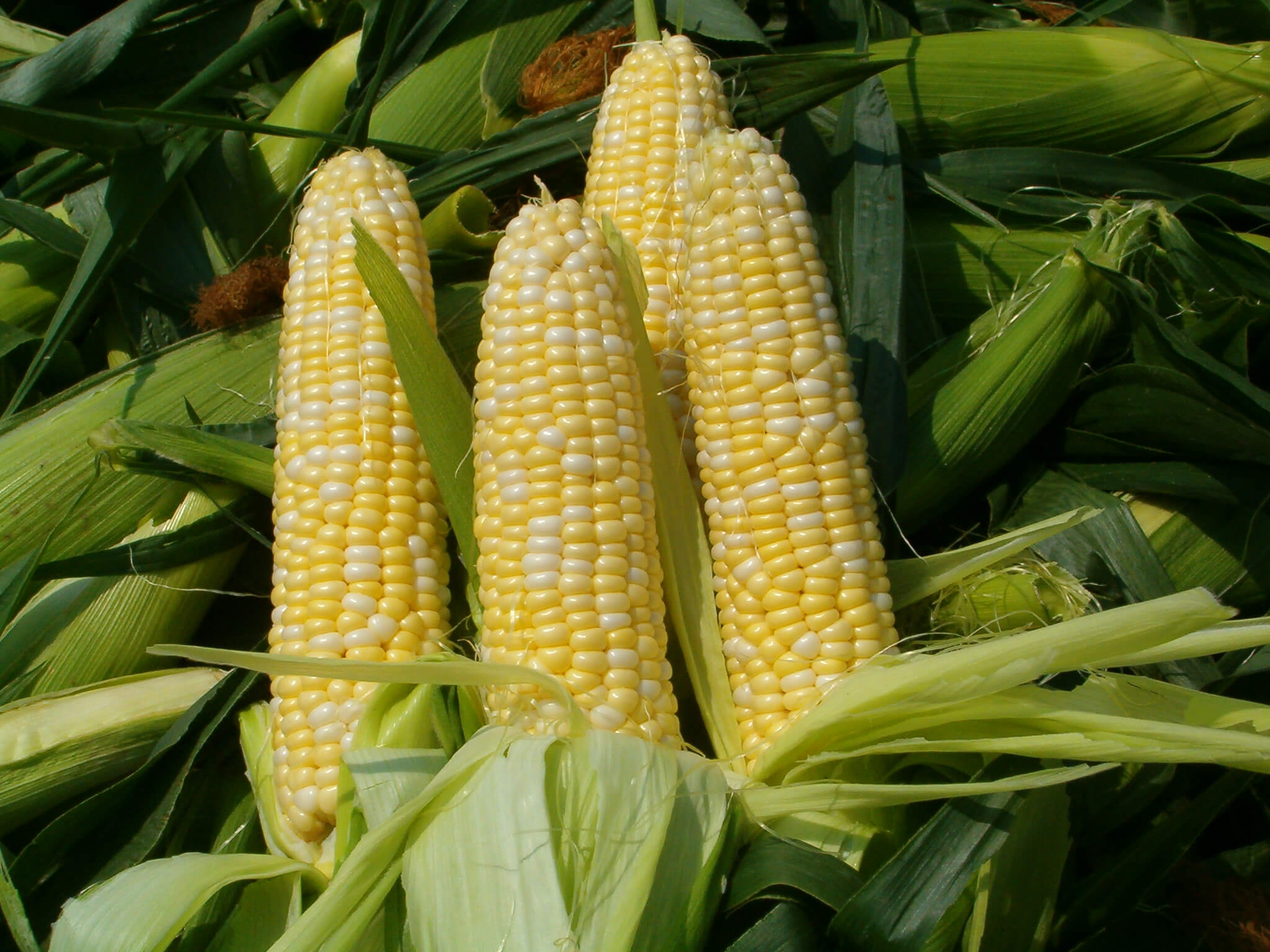 fresh-sweet-corn