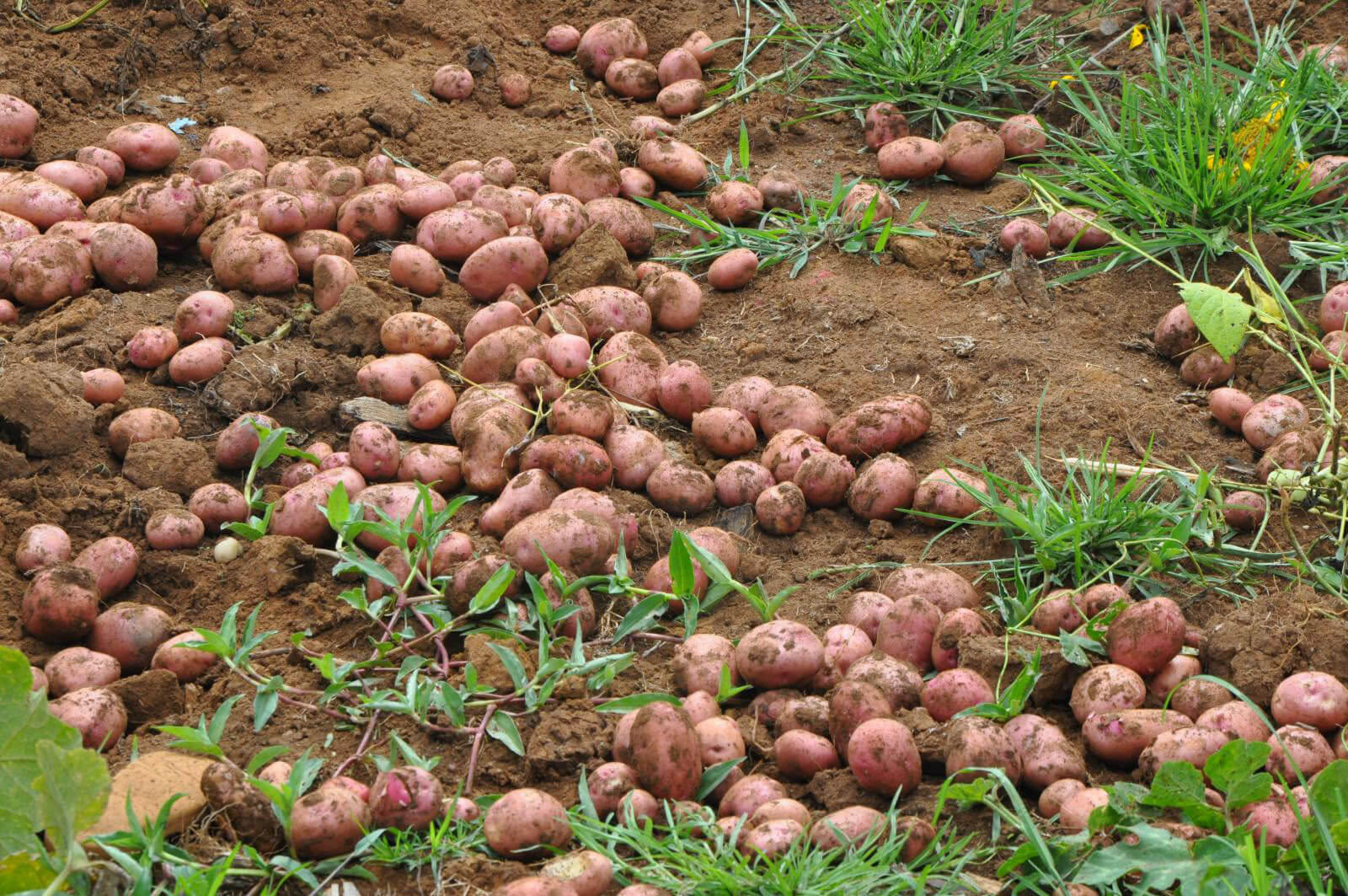sweet-potato_tubers_field